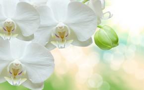 Wallpaper bokeh, orchids, background, glare, closeup, white