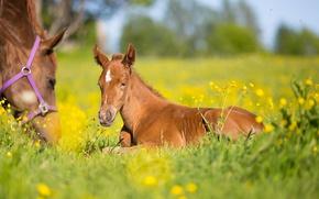 Wallpaper horse, meadow, bokeh, foal