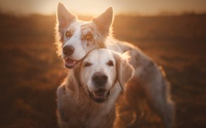Picture friends, two dogs, Golden Retriever, Golden Retriever, The border collie