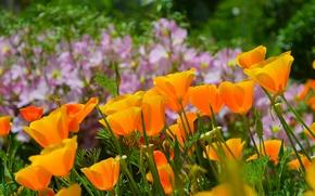 Wallpaper Nature, Spring, Nature, Spring, Escholzia, California poppy