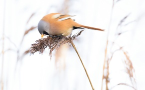 Picture bird, plant, tail, tit whiskered