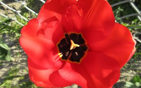 Picture red, Tulip, spring 2018, Meduzanol ©