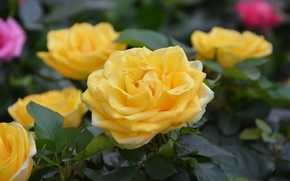 Picture flowers, yellow, Bush, Roses, flowering
