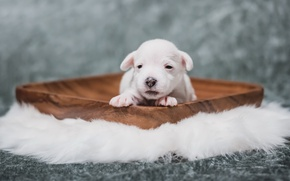 Picture puppy, house, comfort, dog