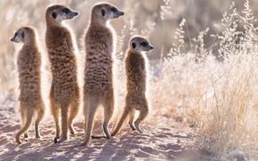 Picture meerkats, background, nature