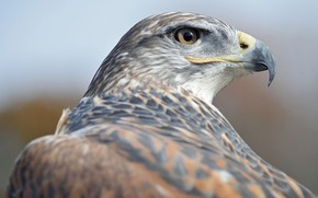 Wallpaper bird, hawk, by Nushaa