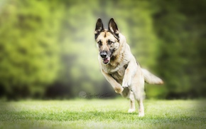 Picture nature, each, dog, German shepherd