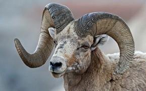 Picture horns, RAM, bighorn sheep