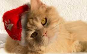 Wallpaper cat, cat, look, muzzle, Santa, cap, red cat