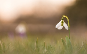 Picture flower, nature, background, snowdrop