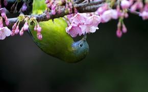 Picture bird, branch, Sakura