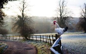 Picture frost, road, the fence, cock