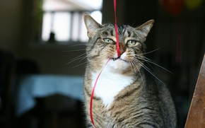 Picture Cat, animal, funny, situation, ribbon, bite, fur, ears, muzzle, whiskers, feline