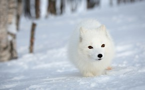 Picture winter, forest, white, face, snow, nature, background, portrait, Fox, Arctic Fox, white and fluffy