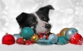 Wallpaper dog, background, The border collie, toys, shariki, decoration, face, New year, balls, Christmas