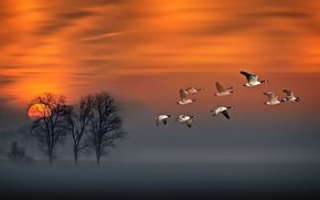 Picture red, sky, sunset, wood, flight, fog, geese in flight