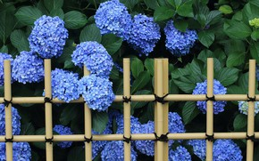 Picture blue, the fence, hydrangea
