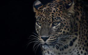Wallpaper eyes, face, handsome, predator, portrait, leopard