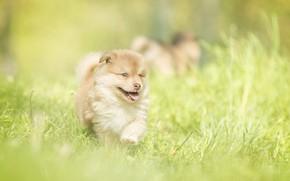Wallpaper grass, baby, puppy, walk, bokeh, doggie
