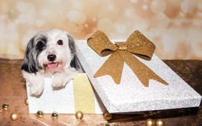Picture box, gift, dog
