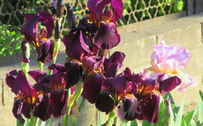 Picture flowers, irises, dark, spring 2018, Mamala ©