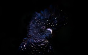 Picture background, bird, Red-tailed black cockatoo