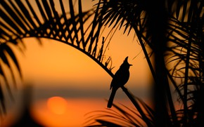 Picture leaves, sunset, bird, silhouette, Real red-cheeked Bulbul