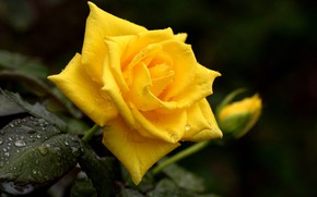 Picture drops, yellow, Rosa, rose, Bud