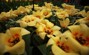 Picture flowers, color, tulips, flowering