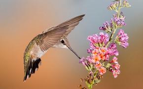Picture flower, bird, wings, beak, Hummingbird, female, Montenegro archilochus
