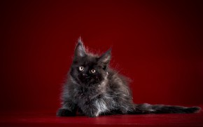 Picture cat, Baby, Kitty, Maine Coon