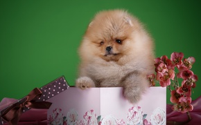 Picture flowers, box, fluffy, puppy, Spitz