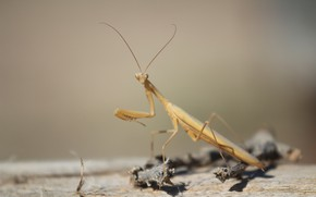Wallpaper insect, sprig, background, mantis, look