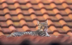 Picture roof, look, cat
