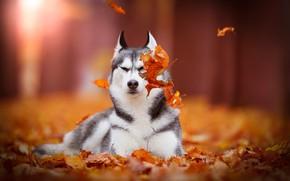 Wallpaper bokeh, dog, autumn, Siberian Husky, leaves