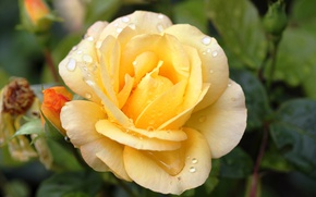 Picture macro, rose, yellow