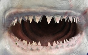 Picture shark, jaw, teeth