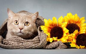 Picture cat, look, sunflower