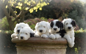 Wallpaper dogs, puppies, Bobtail, The old English Sheepdog