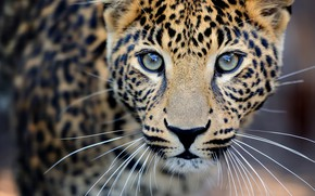 Wallpaper close-up, blur, leopard, wild cat, leopard, animals, nature, bokeh, travel, wallpaper., my planet, predator hunter, ...