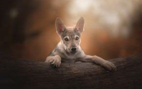 Picture dog, puppy, ears, bokeh, PuppyLove