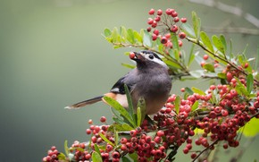 Picture birds, berries, branch, white ears, color of babbler