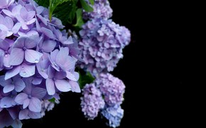 Picture Blue, Flower, Hydrangea, Bloom