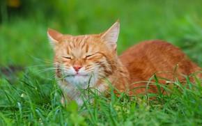 Wallpaper grade, cats, red cat, nature, Stepan, autumn, cat