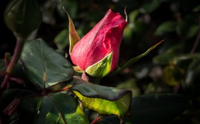 Picture red, rose, Bud