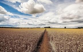 Wallpaper ears, the sky, field, summer