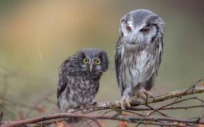 Picture birds, rain, owl, owls, wet