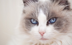 Picture cat, look, portrait, muzzle, blue eyes, Ragdoll
