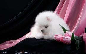 Picture white, tulips, puppy, Spitz