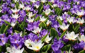 Wallpaper white, purple, light, crocuses, Crocuses